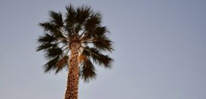 A palm tree decorated for the holiday.